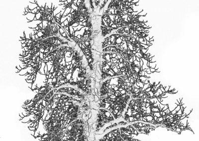 Træ ved Veng