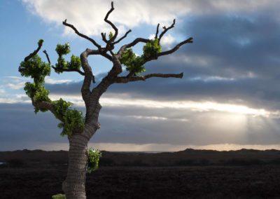 Træ flyttet til Rømø